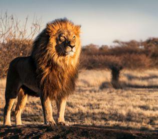 חדשות בעולם, מבזקים בהלה בגן החיות: אריות ונמרים נדבקו בקורונה